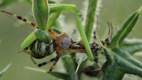 Bidsprinkhanenreligiosa die een bruennichi van Argiope van de wespspin eten stock footage