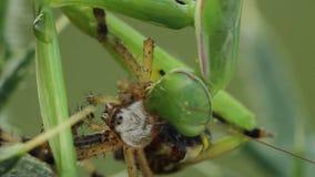 Bidsprinkhanenreligiosa die een bruennichi van Argiope van de wespspin eten stock videobeelden