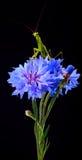Bidsprinkhanenreligiosa op Centaurea Cyanus stock fotografie