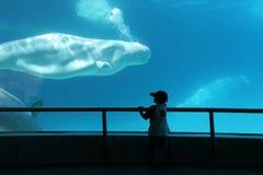bieługa cios mam dziecko i oglądać wieloryby Obrazy Royalty Free