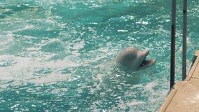 Bieługa je świeżej ryba podczas karmienia w pływackim basenie w dolphinarium zbiory