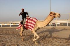 Bieżny wielbłądzi trener zdjęcia royalty free