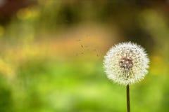 Biedronka i dandelion Zdjęcie Royalty Free