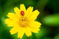 Biedronka na żółtym kwiacie obrazy royalty free