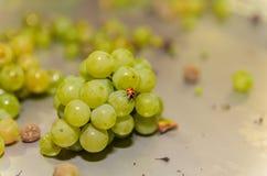 Biedronka na białych winogronach w stal stole zdjęcia royalty free