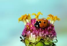 Biedronka na kwiatach fotografia stock