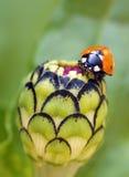 Biedronka na kwiatach zdjęcie royalty free