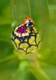 Biedronka na kwiatach zdjęcie stock