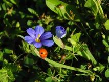 Biedronka na purpura kwiacie Zdjęcie Royalty Free