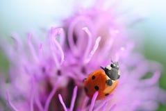 Biedronka na purpurowym kwiacie Obrazy Royalty Free