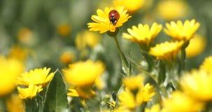 Biedronka na stokrotka kwiacie zdjęcie wideo