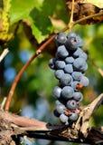 Biedronka na winogronie Obraz Royalty Free