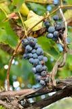 Biedronka na winogronie Obrazy Royalty Free
