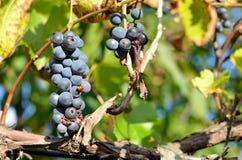 Biedronka na winogronie Zdjęcia Royalty Free