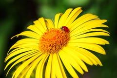 Biedronka siedzi na żółty kwiat odizolowywającym stokrotki zielonym tle zdjęcie royalty free
