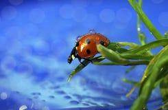 Biedronka w dewdrops zdjęcie royalty free