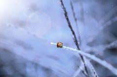 biedronka W zimie Zdjęcia Stock
