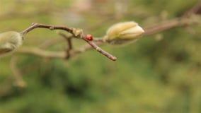 Biedronki czerwień wolno czołgać się przez gałąź magnolia zbiory