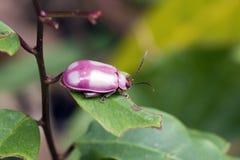 Biedronki lub damy ścigi insekt Coleoptera rodzinny rozkaz Coc obraz royalty free