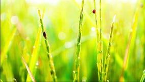 Biedronki niszczą jaśminowego ryżu gospodarstwo rolne w ranku zbiory