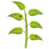 biedronki roślina Zdjęcie Stock