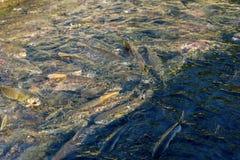 Bieg wiele łosoś dla ikrzyć się w rzece jeżeli Sakhalind Zdjęcia Stock