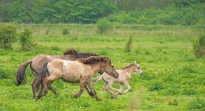 Biegać Koników konie w naturze obrazy royalty free