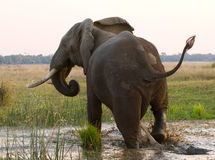 Słoń biega daleko od Zambiowie Niski Zambezi park narodowy Zambezi rzeka Zdjęcie Royalty Free