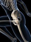 Biegacz anatomia Obrazy Royalty Free