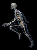 Biegacz anatomia Obraz Stock