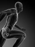 Biegacz anatomia Zdjęcie Stock