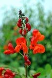 Biegacz fasoli kwiaty Zdjęcie Royalty Free