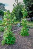 Biegacz fasoli narastające up podporowe trzciny w przydziałach Fotografia Royalty Free