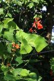 Biegacz fasoli rośliny kwiecenie Obrazy Royalty Free