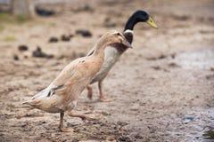 Biegacz kaczki para Zdjęcie Stock