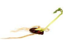 Biegacza fasoli ziarno z długiej zieleni liść krótkopędem Zdjęcie Stock