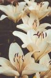 Biege lilies Stock Images