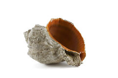 Biege sea shell with orange orifice isolated against white backg. Close-up of a biege sea shell with orange orifice isolated against white background Royalty Free Stock Image