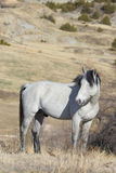 Biege Wild Stallion standing atop canyon ridge Royalty Free Stock Photography