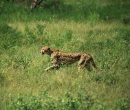 biegnij geparda Fotografia Royalty Free