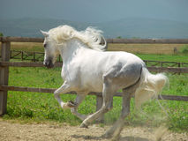 biegnij koń. Zdjęcie Stock