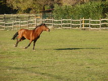 biegnij koń. Zdjęcie Royalty Free