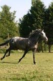 biegnij koń. Fotografia Stock