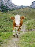 biegnij krowa. Obrazy Stock