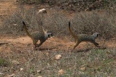 biegnij meerkat Obrazy Royalty Free