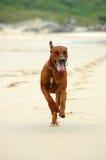 biegnij psa Fotografia Stock