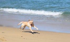 biegnij psa na plaży Fotografia Royalty Free