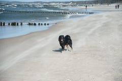 biegnij psa na plaży Obraz Royalty Free