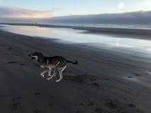 biegnij psa na plaży Obrazy Stock