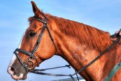 Biegowa końska głowa - profilowy widok na niebieskim niebie Fotografia Stock